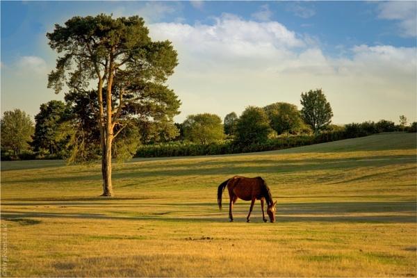 New Forest Pony by blrphotos