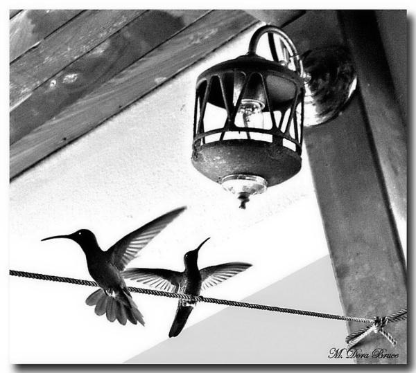 Hummingbirds in mono by IamDora