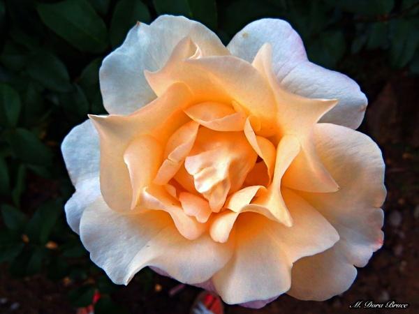 A Few Roses by IamDora