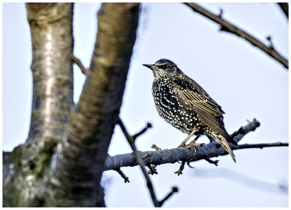Starling by davidgibson