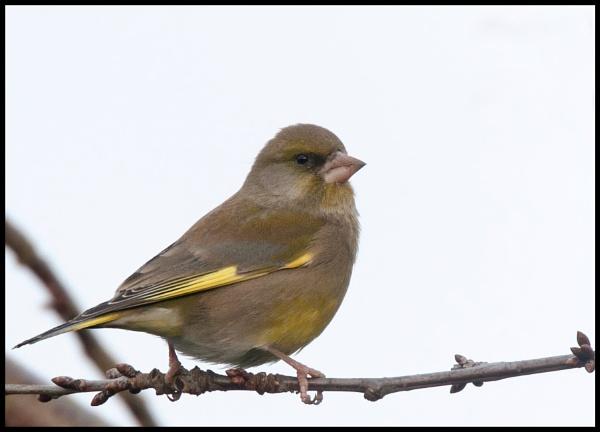 Greenfinch? by davidgibson