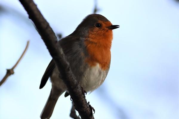 Robin by mark90d
