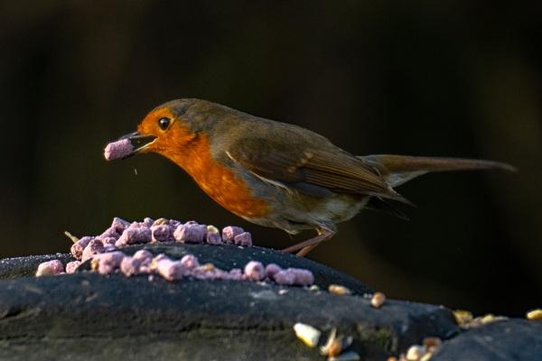 Robin Feeding by terra