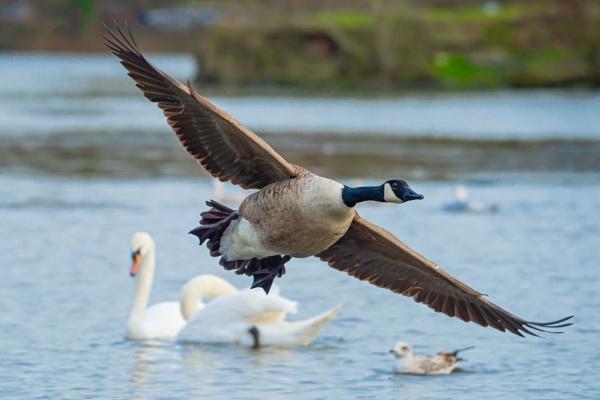 Canada Goose by chensuriashi