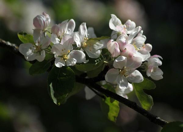 Apple Blossom by viscostatic