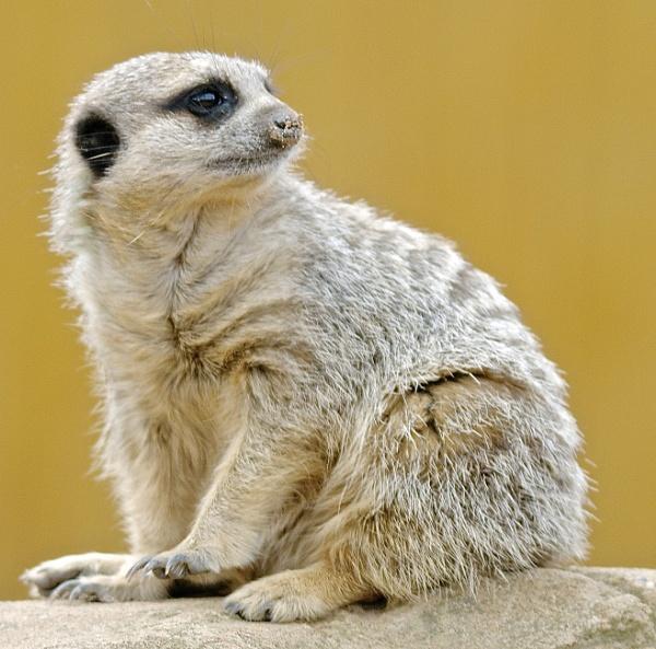 Meerkat by harrywatson