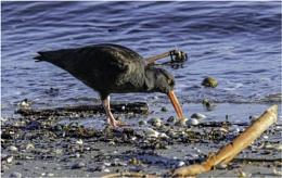 An Oystercatcher