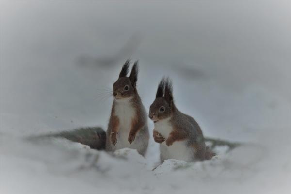 squirrels by maratsuikka