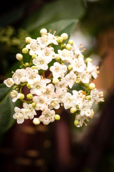 Viburnum tinus ( i think) by JackAllTog