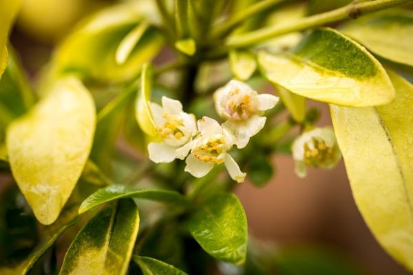 Mexican orange blossom - Choisya by JackAllTog
