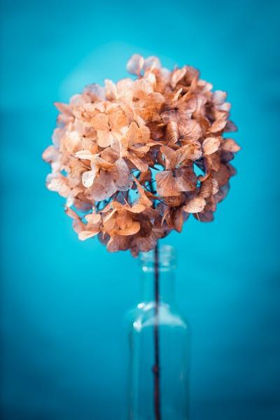 Sundried hydrangea flower by JackAllTog
