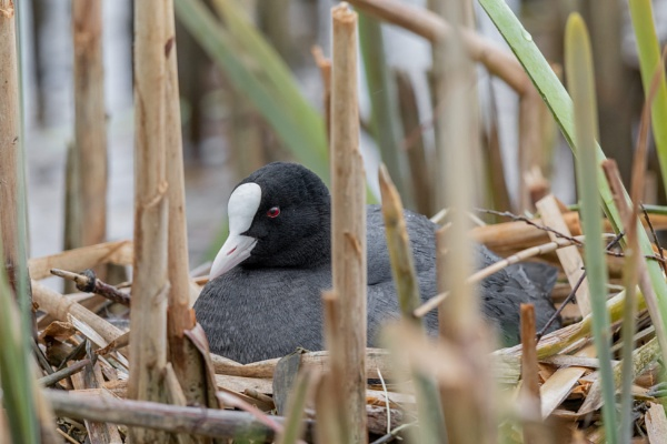 Coot (Fulica atra) by Ray_Seagrove
