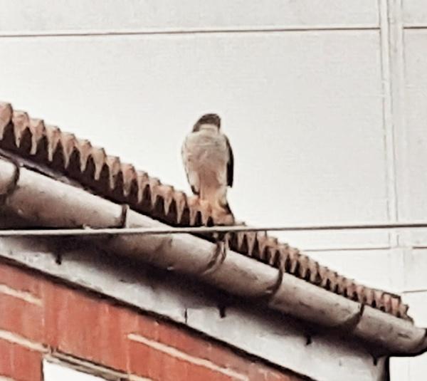 Sparrow Hawk by lazytoad6