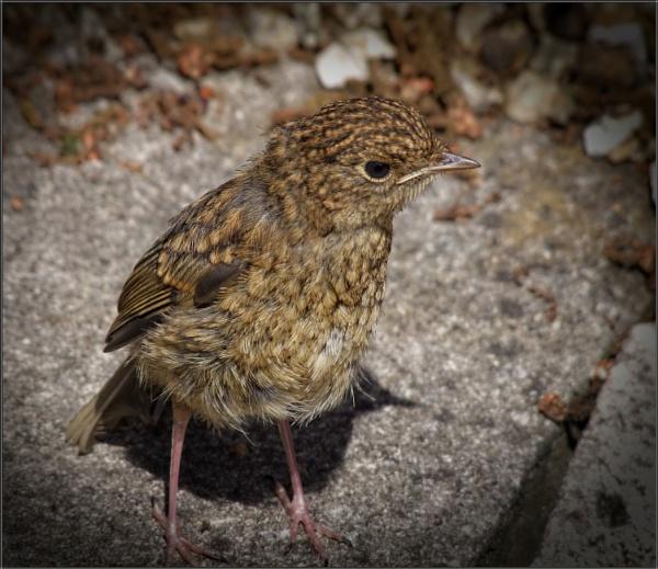 Juvenile Robin by PhilT2