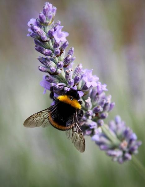Lavender Bee by mammarazzi