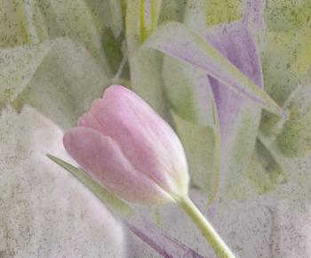 Reclining Tulip