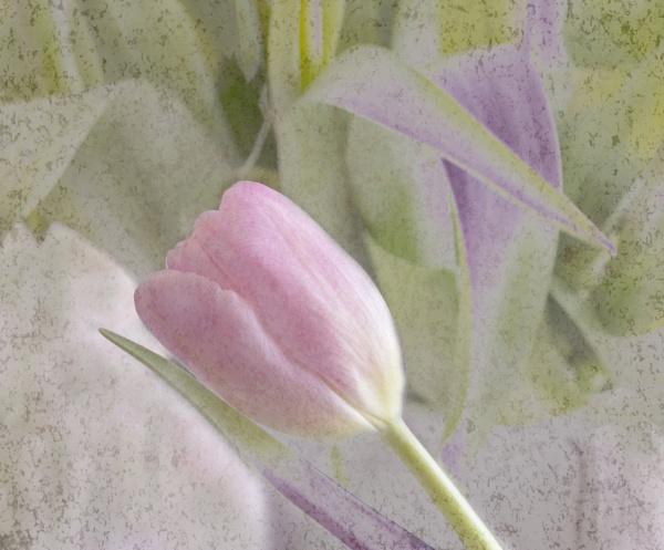 Reclining Tulip by Irishkate