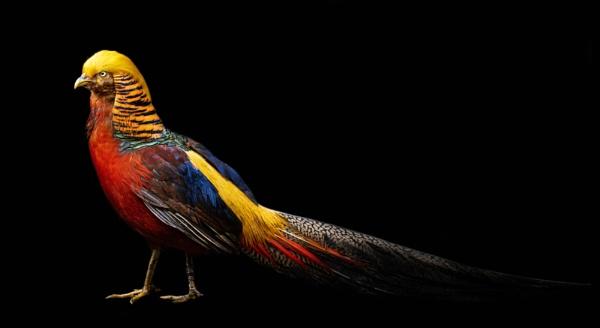 Donald the Golden Pheasant by Steinmachine