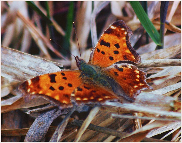 A Comma Butterfly (Polygonis c-album)  (best viewed large) by gconant