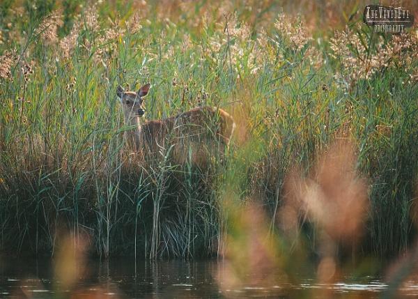 The Deer by MartinWait