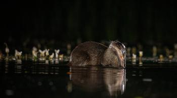 Otter feeding