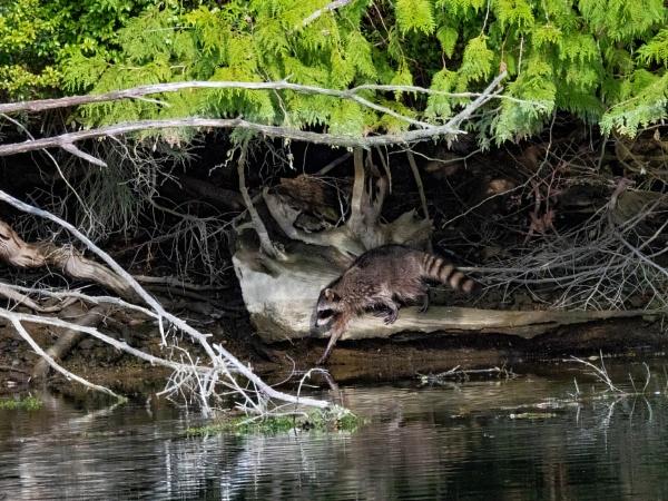 Racoon hunting by StuartDavie