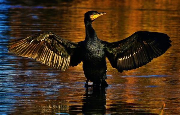 Cormorant by georgiepoolie