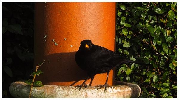 MR BLACKBIRD. by kojack