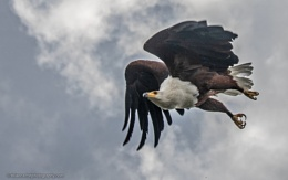 Fish Eagle in flight