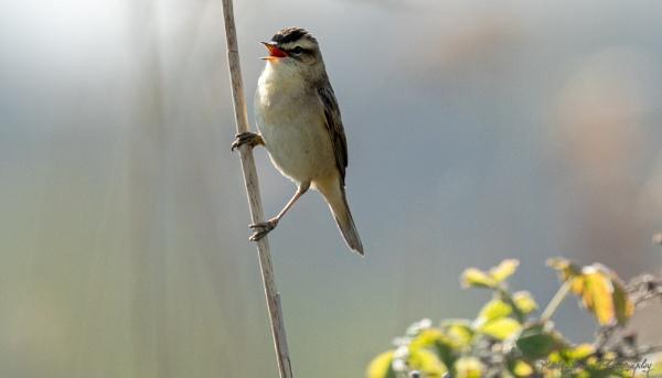 Sedge Warbler by louie1st