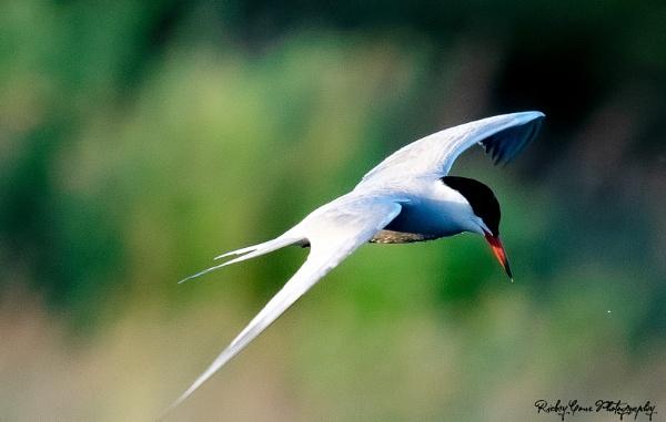 Tern by louie1st