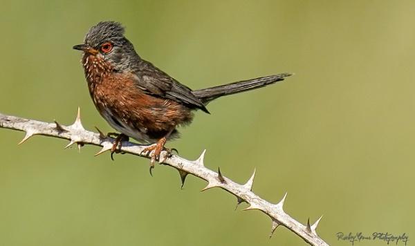 Dartford Warbler by louie1st