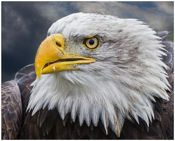 Eagle by capto