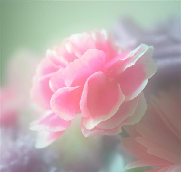 carnation pink by carmenfuchs