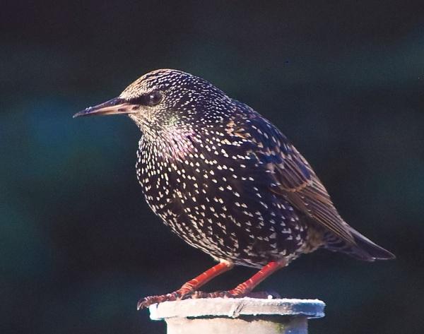 Starling by photowanderer