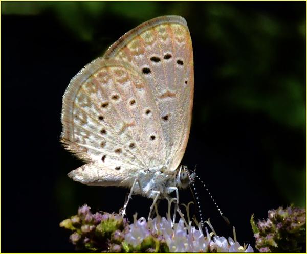 Tiny butterfly (Zizeeria knysna) by fotobee