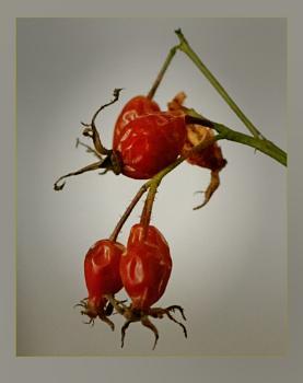 Gallica Rose Hips