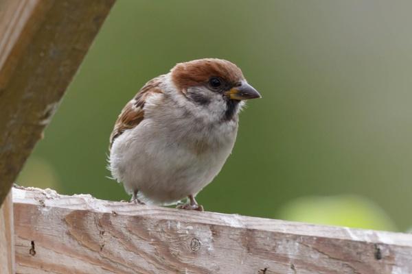 Tree Sparrow by nobby1