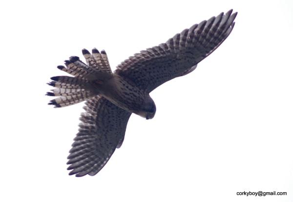 Hawk by rustyshackleford