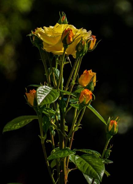 Rose by RonDM