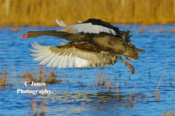 Black-Swan. by cjones