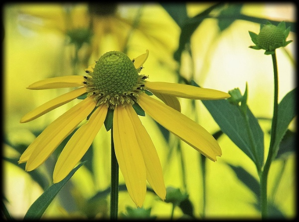 """Mellow Yellow\"" by dales"