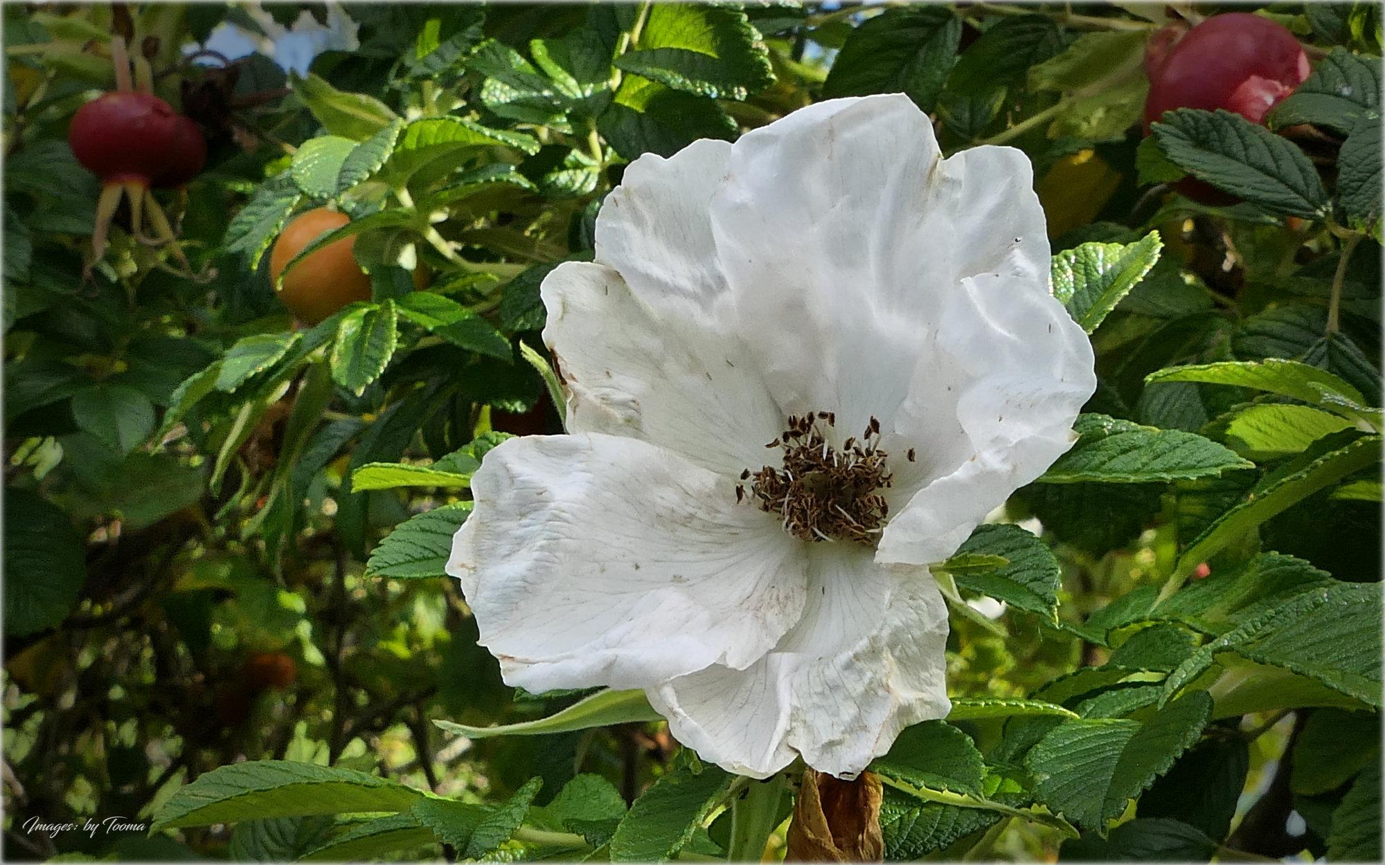 Rosehip Floral.