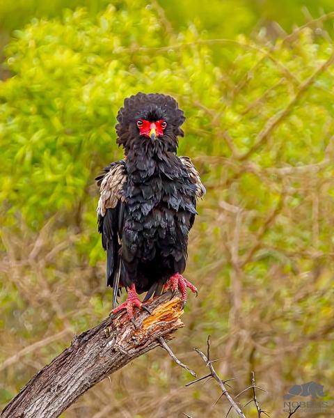 Bateleur Eagle by Nobby31
