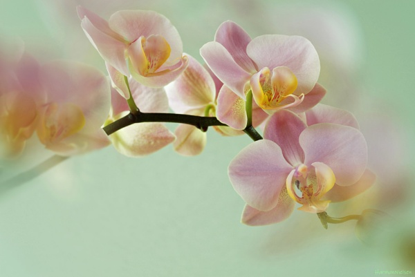 Orchid Flowers. by HarmanNielsen
