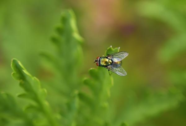 The Fly by littleflea