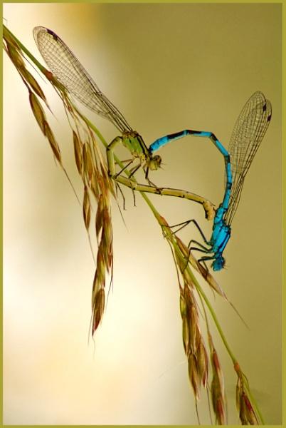 Loving Damsel Flies by nicholl