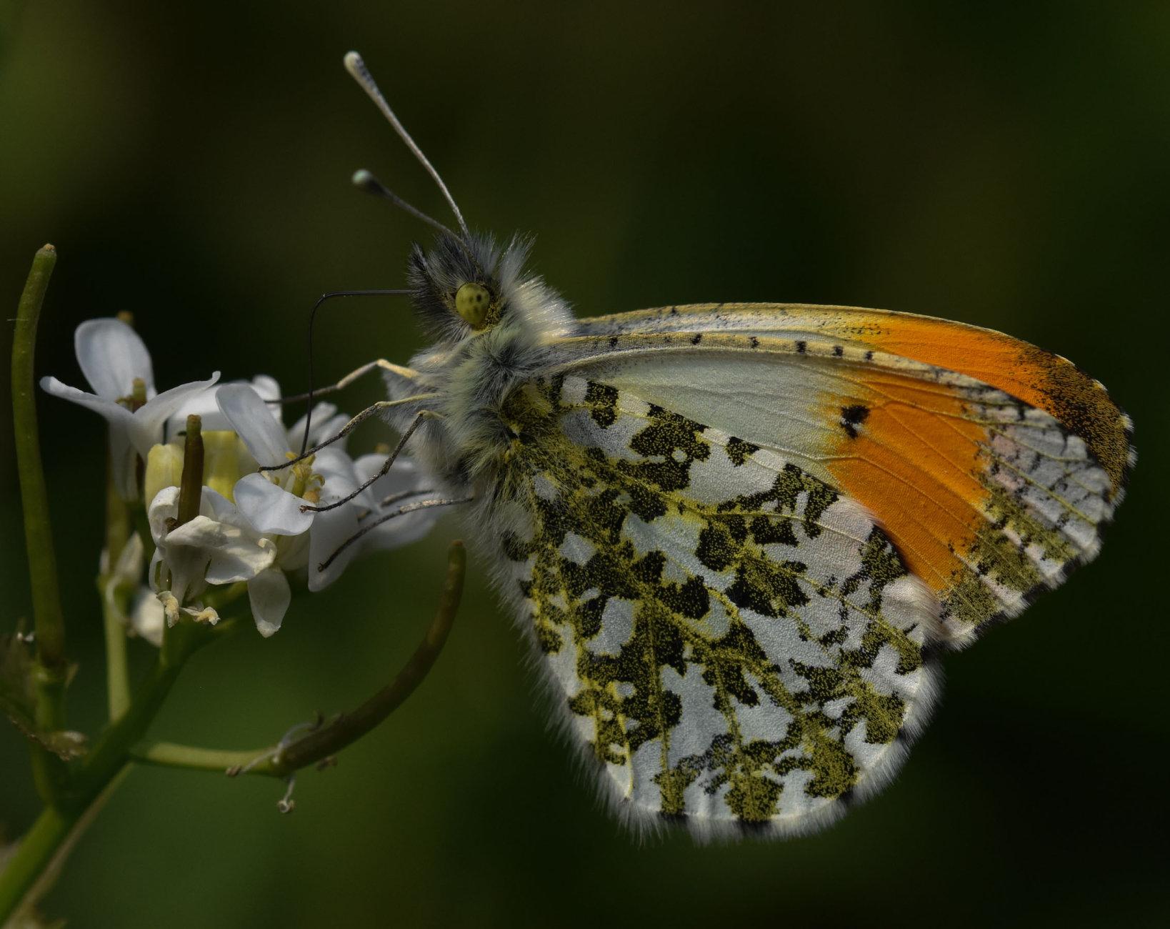 Male Orangetip