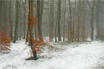 Beechwood in Winter