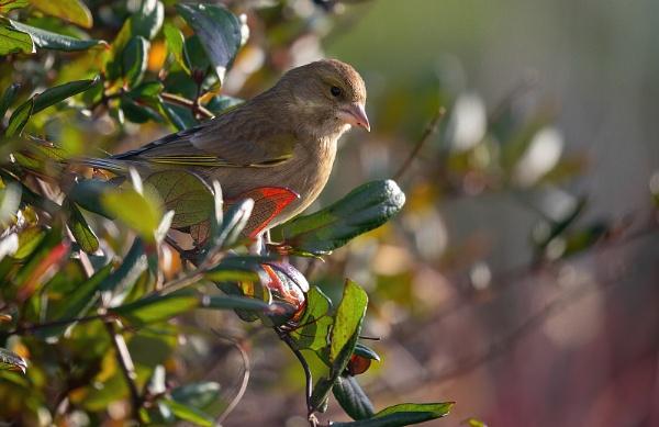 Greenfinch by royd63uk
